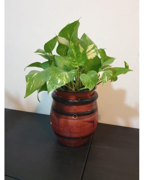 Money plant in Clay Pot. 38 Cm