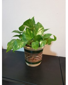 Money plant in Clay Pot