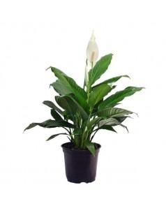 Spathiphyllum 60cm ht