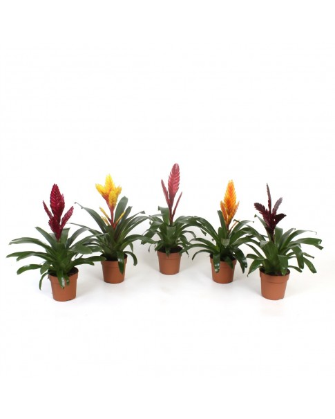 Guzmania Mix Colours 35cm