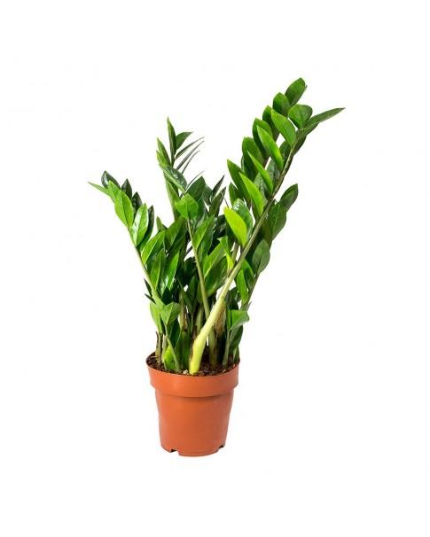 Zamio culcas Zamiifolia 35 cm ht