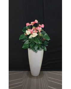 Anthurium Potted in Cylindrical Fiber Planter 110 CM Total Height