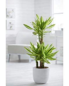 Dracaena Massangeana Potted [ In Matching Available Pot ]  - 100 CM Total Height