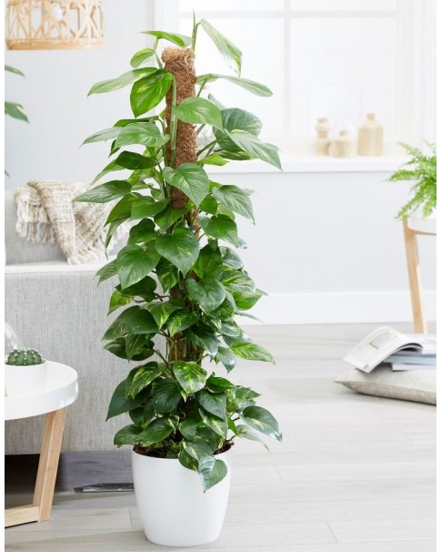 Epipremnum Potted [ Available & Matching Pot ]  120 CM Height