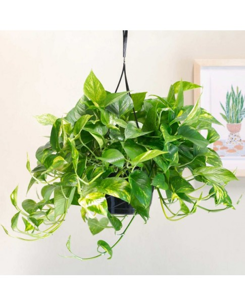 Epipremnum (Money Plant) Hanging