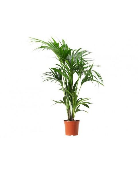 Kentia Palm  - 100 cm ht