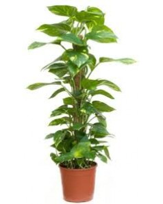 Epipremnum moss stick (Money Plant) 100 CM Height