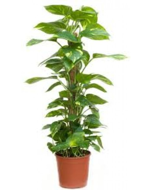 Epipremnum moss stick (money plant) 60 cm