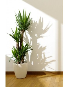 Yucca 3 Stem Potted [ Any Colour Pot ] 120 CM Total Height