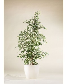 Ficus Starlight Potted [ Assorted Pot ] 110 CM Height