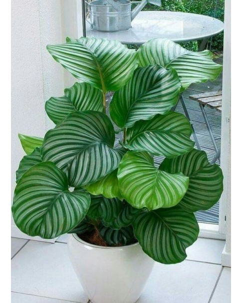 Calathea Orbifolia 70 CM Height - Potted [ Assorted Pot ]
