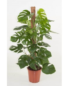 Monstera 100 to 110  CM Height