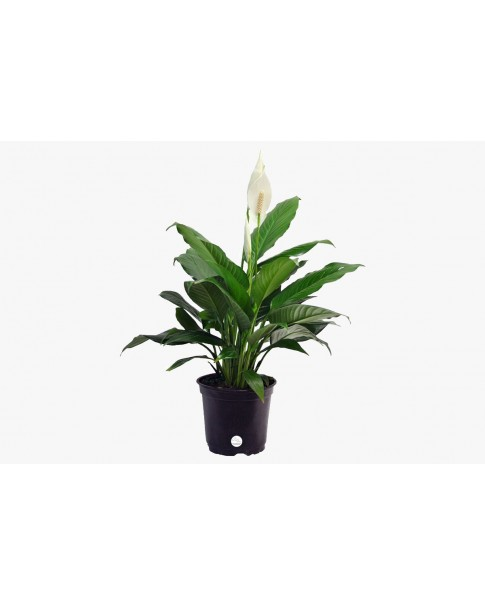 Peace Lilly Mini. 30 to 40 CM Ht