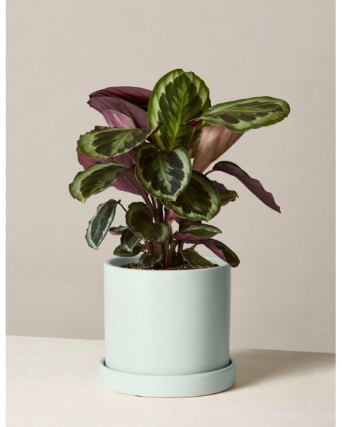 Calathea Potted  ( Pre Order Only )