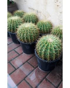 Cactus Ball Shape
