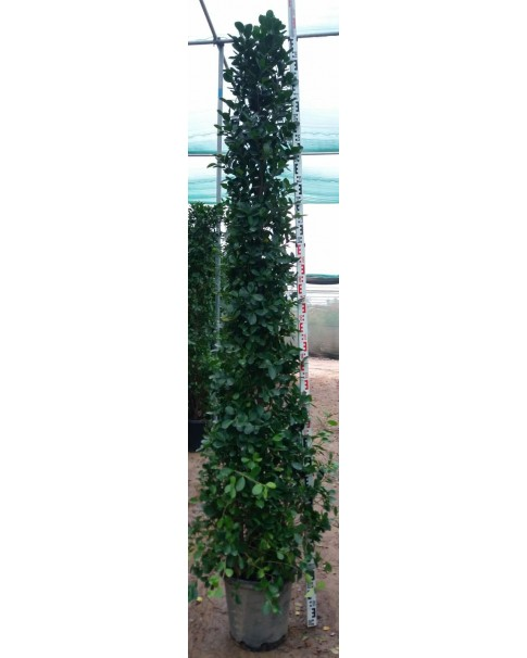 Ficus Tree 3M Height