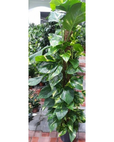 Money Plant ( Moss Stick ) 110 to 120 CM Height