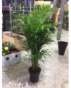 Areca Palm 150 CM Ht