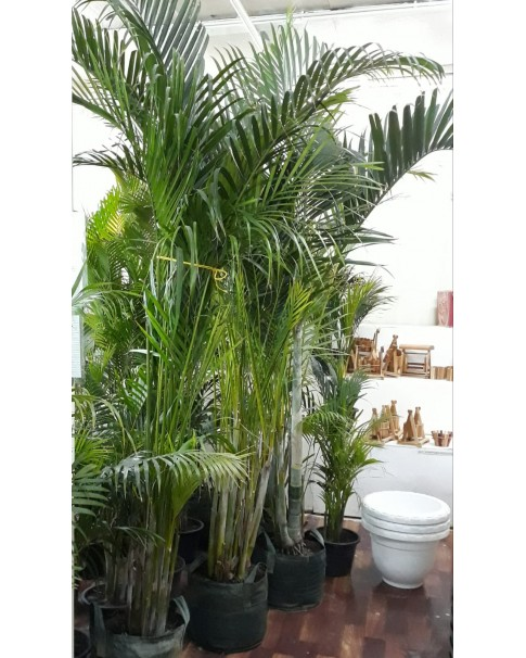 Areca Palm. 1.8 to 2 Mtr Height