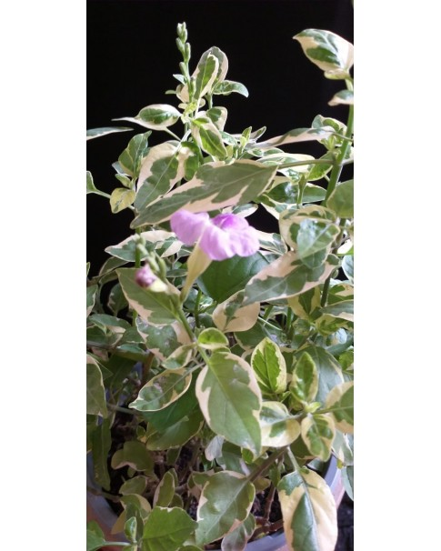 Asystasia gangetica in Golden Pot