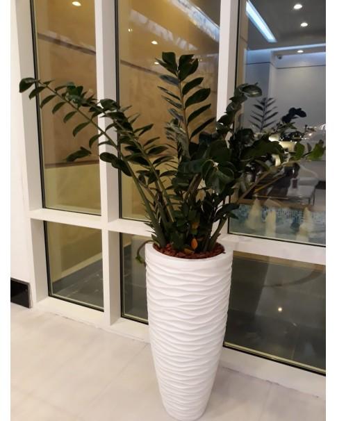 Zamioculcus - (Zee-Zee Plant) (Pre-order only)
