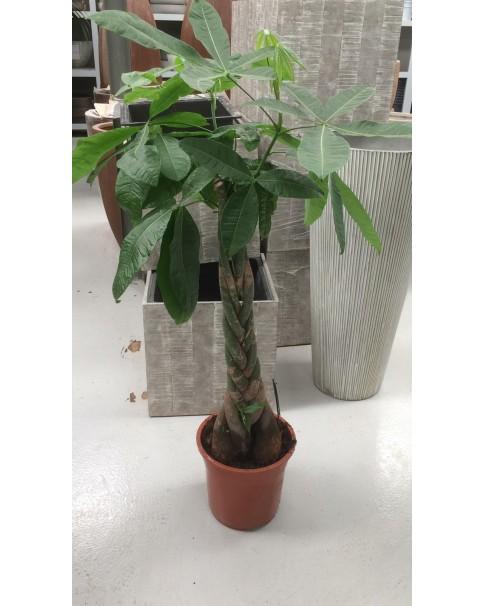 Pachira Plant - Braded