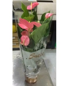 Anthurium Pink . 70 CM Height