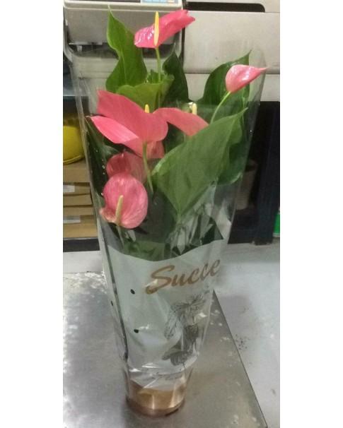 Anthurium Pink . 70 CM Height
