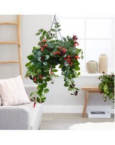 Aeschynanthus [ Lipstick Plant Monalisa  ] Hanging