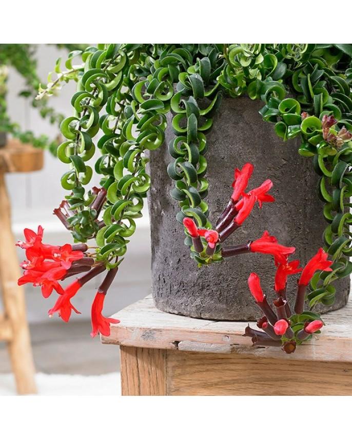 Buy Aeschynanthus Lipstick Plant Hanging Online Daffodils