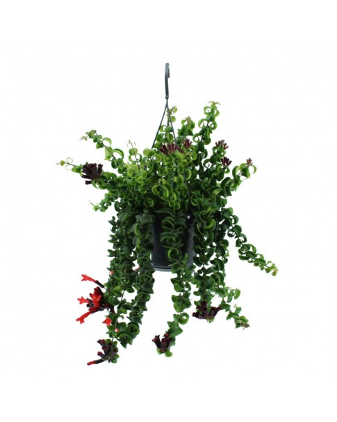 Aeschynanthus [ Lipstick Plant Twisted  ] Hanging