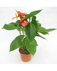 Anthurium Red / Pink - 50 to 55cm Ht