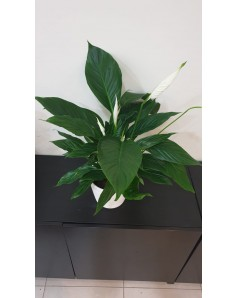 Peace Lilly Potted - 60 CM Height