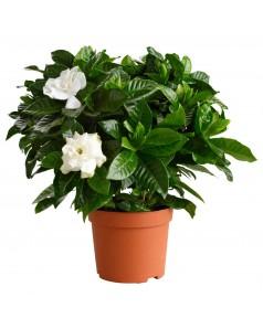 Gardenia Jasminoides 30 CM