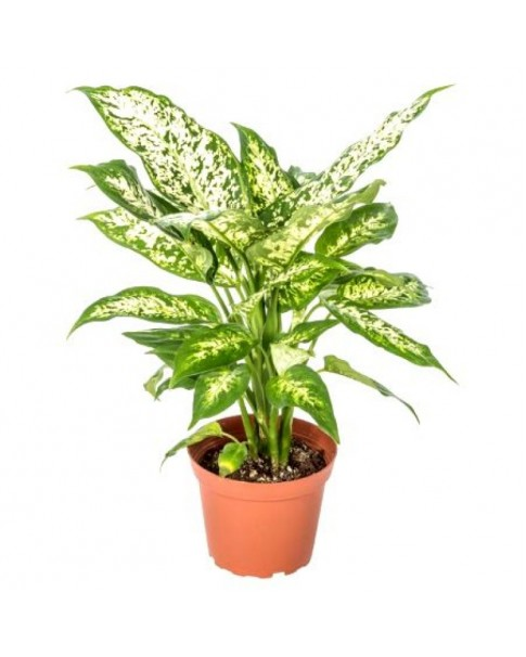 Aglaonema Snow white 60 CM