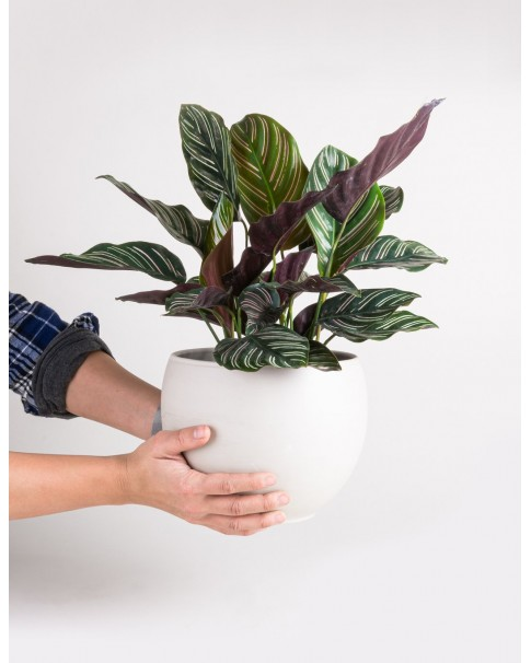 Calathea Ornata Potted [ Pot - Any Colour  ]  45 CM Height