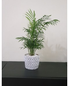 Chamaedorea Elegans - 50 CM Total Height