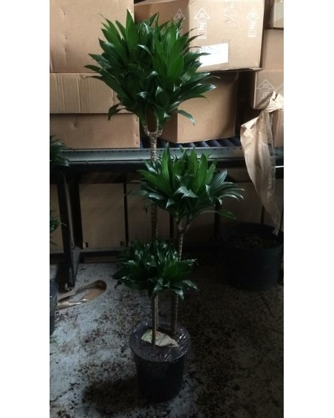 Dracaena Compacta 120 CM Height