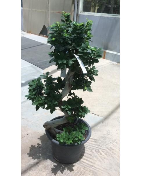 Ficus Microcarpa  - S Shape Bonsai