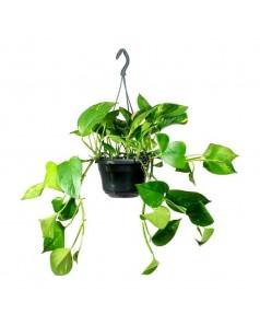 Money Plant [ Epipremnum ] Hanging