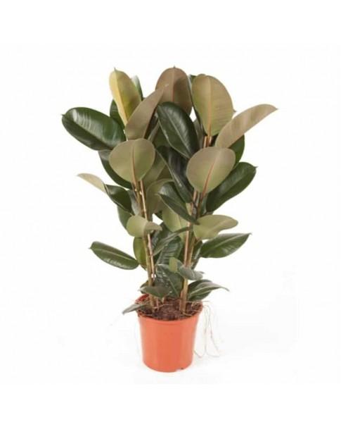 Rubber Plant (Ficus Robusta) 70 - 80cm ht