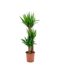 Yucca 3 Stem 110 cm