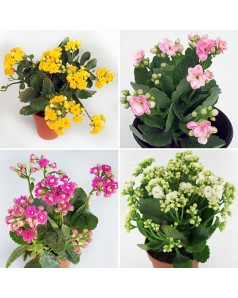 Kalanchoe blossfeldiana 4 Pcs Offer Pack Mixed Colors