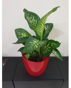 Dieffenbachia in Red Plastic Pot - 85 CM