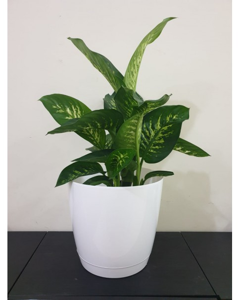 Dieffenbachia in Plastic Pot - 85 CM
