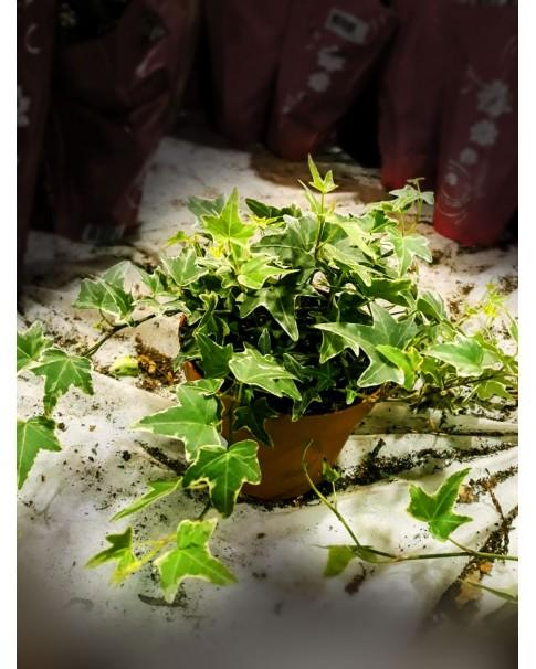 Ivy variegated