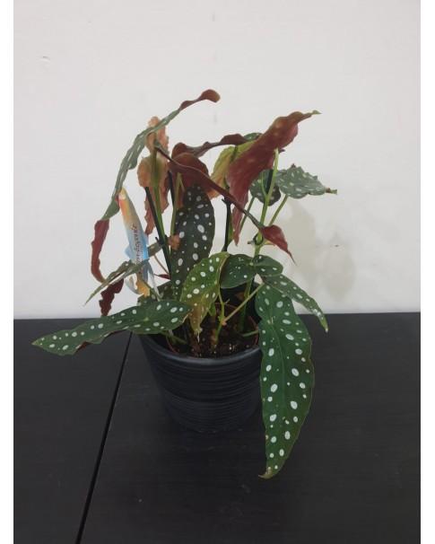 Begonia.  40 cm