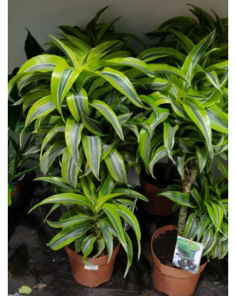 Dracaena Lemon Lime  70cm height