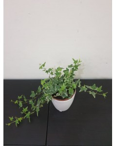 Hedera potted.  22 cm Height