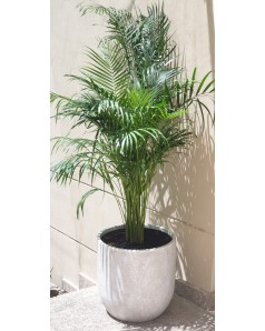 Areca in Premium Pot ( Pre Order Only ) . 1.8 Mtr Total Height